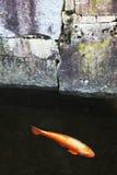 Single Japanese koi fish Royalty Free Stock Photo