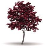 Single Japanese Maple Tree royalty free stock image