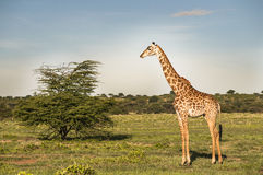Single Jiraf in Africa Stock Image