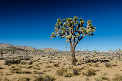 Single Joshua Tree on Clear Day Stock Photography