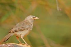 Single jungle babbler bird royalty free stock image