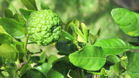 Single Kaffir Lime on tree Stock Photography