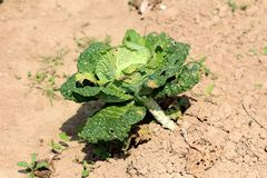 Single Kale or Leaf cabbage hardy annual green vegetable plant left growing in local garden surrounded with dry soil on warm sunny. Day stock images