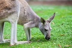 Single Kangaroo Royalty Free Stock Photo
