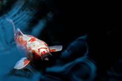 Single Koi surfaces on Rippling Blue Pond Royalty Free Stock Image
