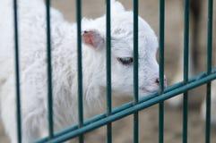 Single lamb behind fence stock photo