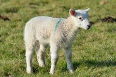 Single lamb in Field Royalty Free Stock Photos