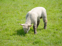 A Single Lamb Stock Images