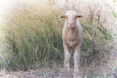 Single lamb Stock Image