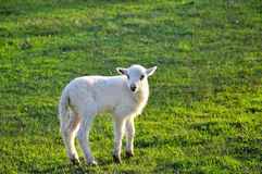 Single lamb on the meadow Stock Photo