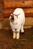 Single lamb Stock Images