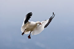 Single Landing Snow Goose Royalty Free Stock Photo