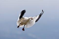 Single Landing Snow Goose Royalty Free Stock Photo