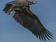 Single Lappet-Faced Vulture, Torgos tracheliotus , in flight royalty free stock photography