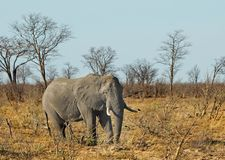 A single large bull elephant standing in the open bush in Hwange National Park. Large African Elephant walking through the African Bushveld in Hwange National royalty free stock photography