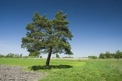 Coniferous tree in the meadow and blue sky
