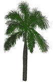 Single large green palm tree on white Stock Photo