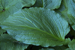 Single, large, green skunk cabbage leaf, Chatfield Hollow, Killi Stock Images