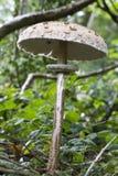 A single large parasol mushroomgrowing in woodland. A parasol mushroom (Macrolepiota procera ) growing through woodland undergrowth stock photography