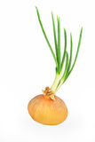 Single, large, sprouted onion bulb. An onion bulb sprouting with large green sprouts, isolated on white royalty free stock photography