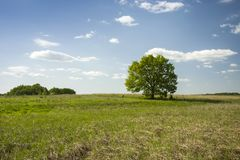Single large tree in the meadow and clouds in the sky