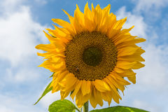 Sunflower against blue sky with small bee Royalty Free Stock Image