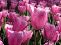 Single late Cum Laude Tulip bed Stock Images