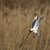 Single Laughing gull in flight among reed stems during a spring. Period Stock Photo