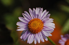 Single lavender-tinted alpine aster wildflower Royalty Free Stock Images