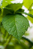 Single leaf. With droplets on natural background Royalty Free Stock Photos