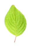 Single leaf Royalty Free Stock Image