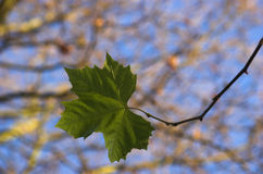 Single leaf. Macro picture, green leaf hanging down from a branch Royalty Free Stock Photo