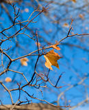 Single Leaf. A golden leaf on a tree in the fall/autumn Royalty Free Stock Photos