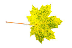 A single leaf against white background. A single leaf maple against white background Royalty Free Stock Photos