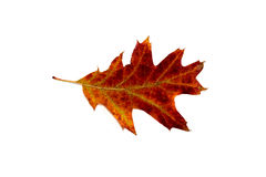 A single leaf against white background Royalty Free Stock Photography