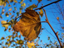 Single leaf in autumn Royalty Free Stock Image