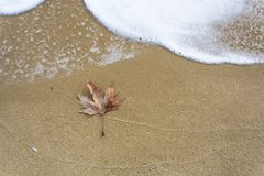 Single leaf on the beach. Single dead leaf on the wet sand in the beach with a coming wave. Place for text Royalty Free Stock Photography