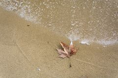 Single leaf on the beach. Single dead leaf on the wet sand in the beach with remaining foam of the waves ,Place for text Stock Photography
