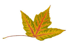 Single leaf collection maple Stock Photography