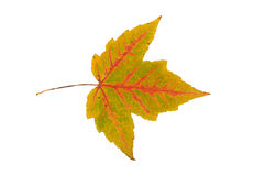 Single leaf collection maple Royalty Free Stock Photo