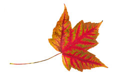 Single leaf collection maple Royalty Free Stock Image