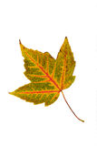 Single leaf collection maple Royalty Free Stock Images