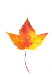 Single leaf collection maple Stock Image