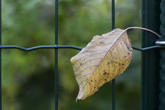 Single leaf in a green wire fence Stock Photography