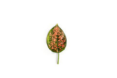Single leaf isolated Royalty Free Stock Images