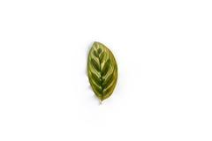 Single leaf isolated Royalty Free Stock Photos