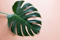Single leaf of Monstera plant on pink background. Close up, with copy space. Single leaf of Monstera on pink background. Close up, with copy space stock photography
