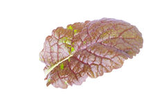 Single Leaf of Mustard Salad Royalty Free Stock Photo