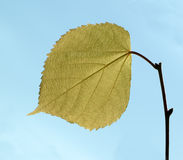 A single leaf Royalty Free Stock Images