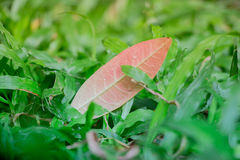 A single leaf resting upon the yard which fell from a tree after the rain storm.  This young and vibrant scene is a breath of fres Stock Photo